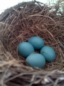 The real-deal robin's egg blue! (Thanks to Dad for snapping this beauty from our front-porch nest).